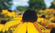 Rudbeckia, a pollinating plant native to Minnesota.