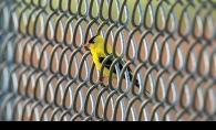 On the Fence, placed first in the wildlife and nature category of the Focus on Maple Grove photo contest