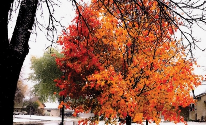 A tree with red and orange leaves surrounded by a fresh snowfall.