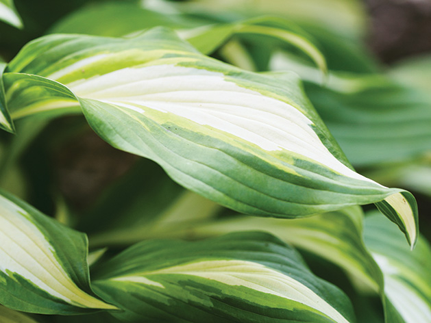 A hosta in Larry the Hosta Guy's garden.