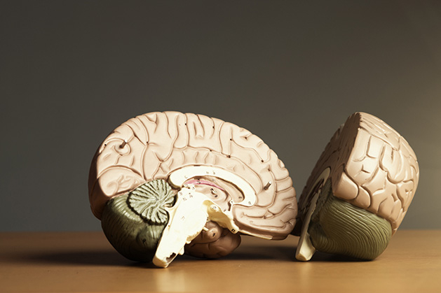 Two halves of a model brain.