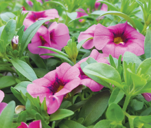 New Guinea impatiens, a hardy, low-maintenance plant.