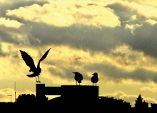 Seagulls perch on a street light in this Focus on Maple Grove-winning image.