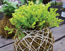 An example of Kokedama gardening, or string gardening, where moss and string hold the soil around a plant in place.