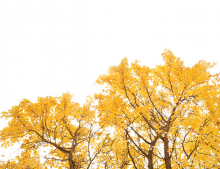 Trees with yellow leaves against a clear sky.