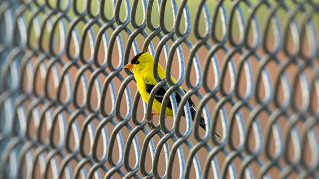 A yellow bird perched on a fence.